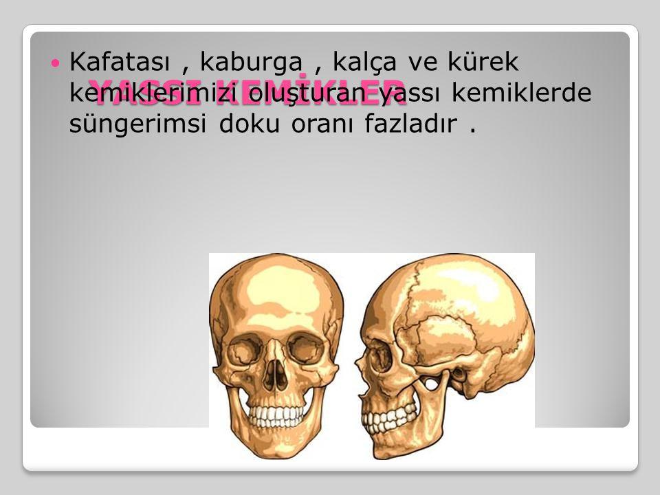 YASSI KEMİKLER Kafatası , kaburga , kalça ve kürek kemiklerimizi oluşturan yassı kemiklerde süngerimsi doku oranı fazladır .