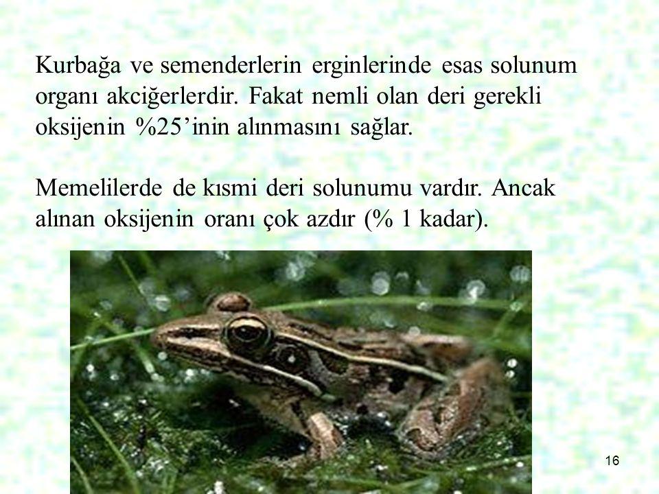 Kurbağa ve semenderlerin erginlerinde esas solunum organı akciğerlerdir. Fakat nemli olan deri gerekli oksijenin %25'inin alınmasını sağlar.