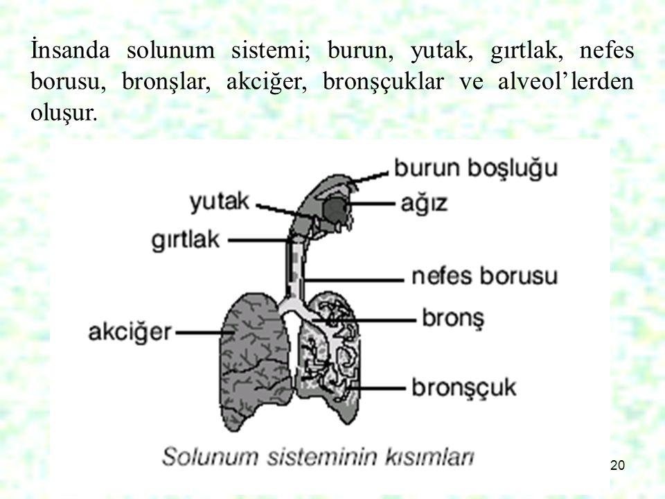 İnsanda solunum sistemi; burun, yutak, gırtlak, nefes borusu, bronşlar, akciğer, bronşçuklar ve alveol'lerden oluşur.