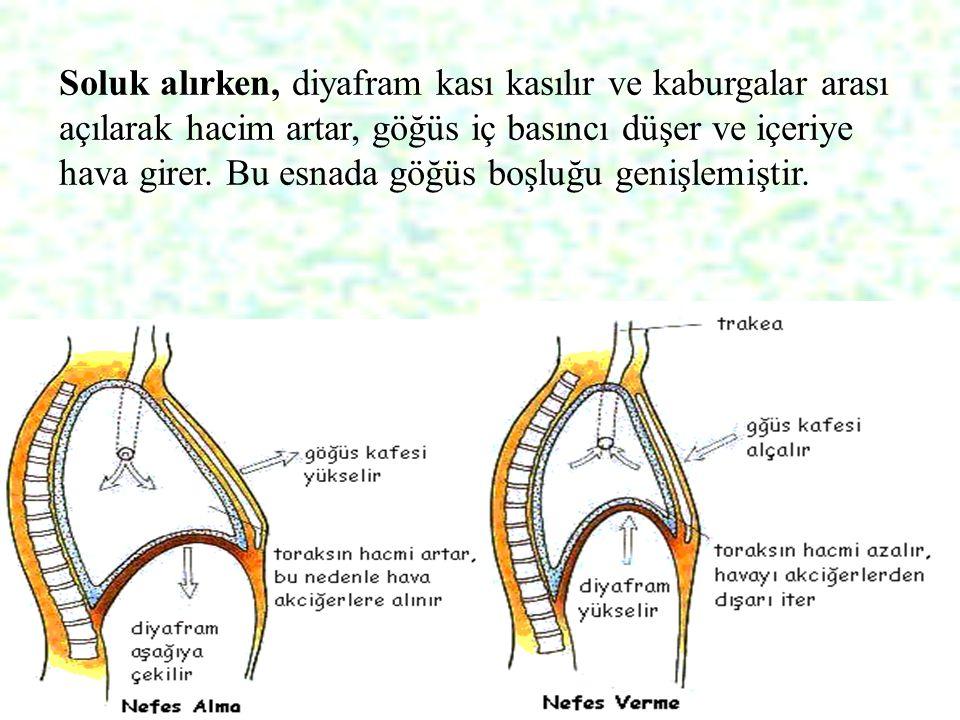 Soluk alırken, diyafram kası kasılır ve kaburgalar arası açılarak hacim artar, göğüs iç basıncı düşer ve içeriye hava girer.