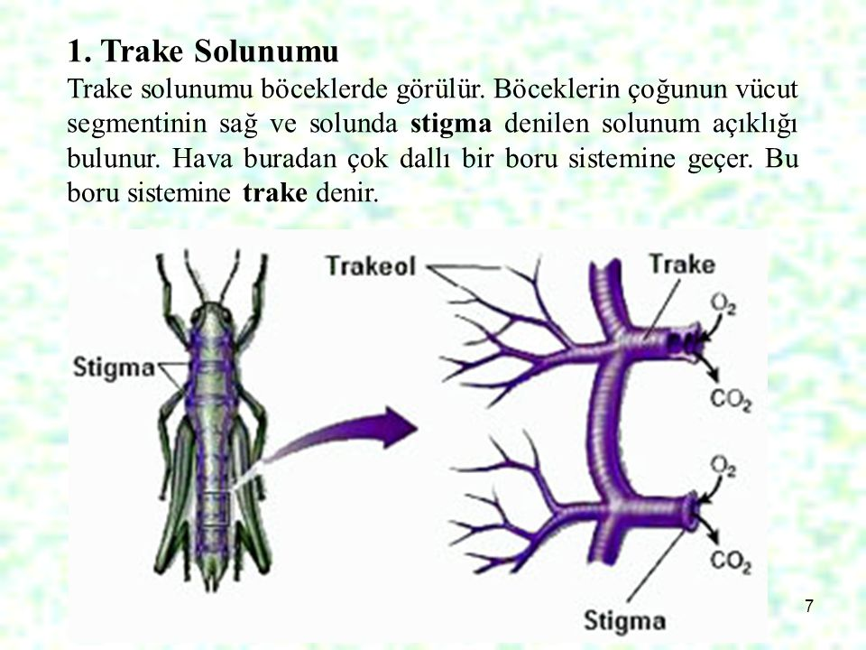 1. Trake Solunumu