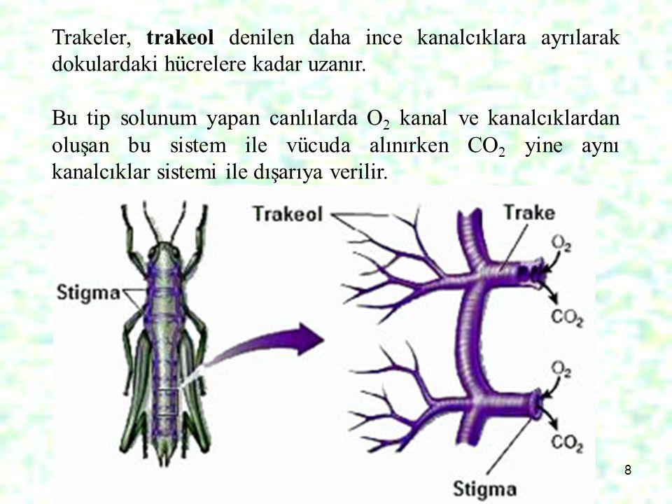 Trakeler, trakeol denilen daha ince kanalcıklara ayrılarak dokulardaki hücrelere kadar uzanır.