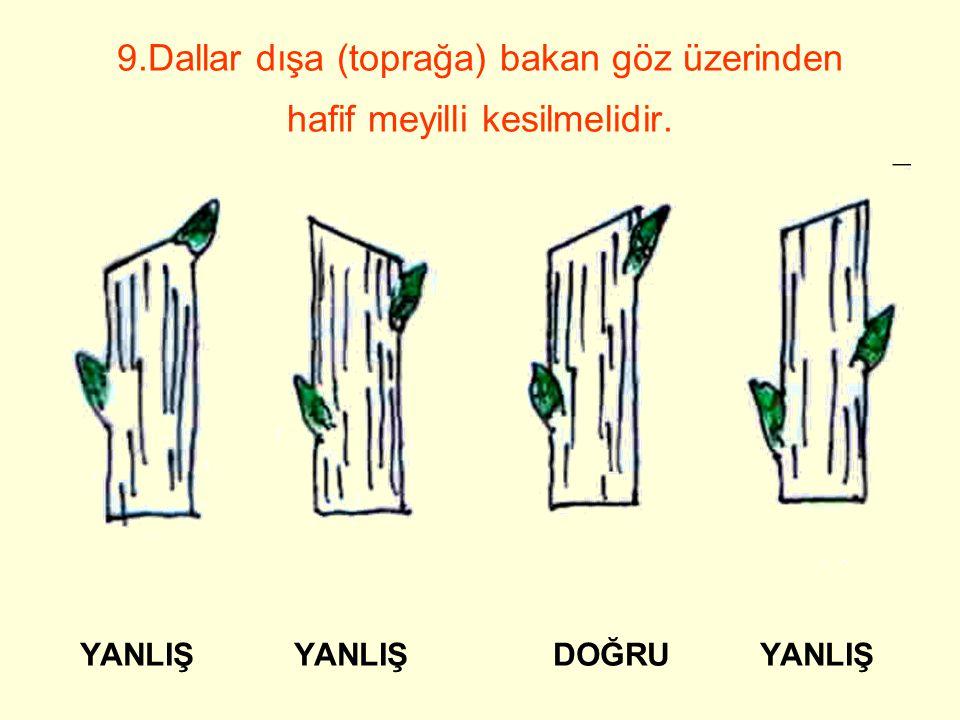 9.Dallar dışa (toprağa) bakan göz üzerinden hafif meyilli kesilmelidir.