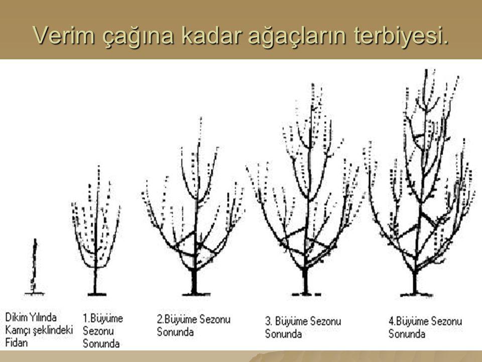 Verim çağına kadar ağaçların terbiyesi.