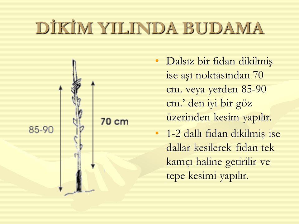 DİKİM YILINDA BUDAMA Dalsız bir fidan dikilmiş ise aşı noktasından 70 cm. veya yerden 85-90 cm.' den iyi bir göz üzerinden kesim yapılır.