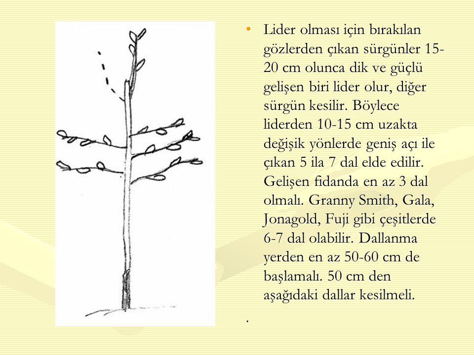 Lider olması için bırakılan gözlerden çıkan sürgünler 15-20 cm olunca dik ve güçlü gelişen biri lider olur, diğer sürgün kesilir. Böylece liderden 10-15 cm uzakta değişik yönlerde geniş açı ile çıkan 5 ila 7 dal elde edilir. Gelişen fidanda en az 3 dal olmalı. Granny Smith, Gala, Jonagold, Fuji gibi çeşitlerde 6-7 dal olabilir. Dallanma yerden en az 50-60 cm de başlamalı. 50 cm den aşağıdaki dallar kesilmeli.