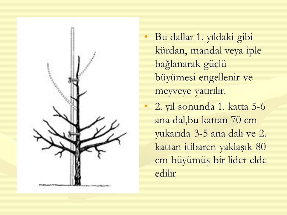 Bu dallar 1. yıldaki gibi kürdan, mandal veya iple bağlanarak güçlü büyümesi engellenir ve meyveye yatırılır.