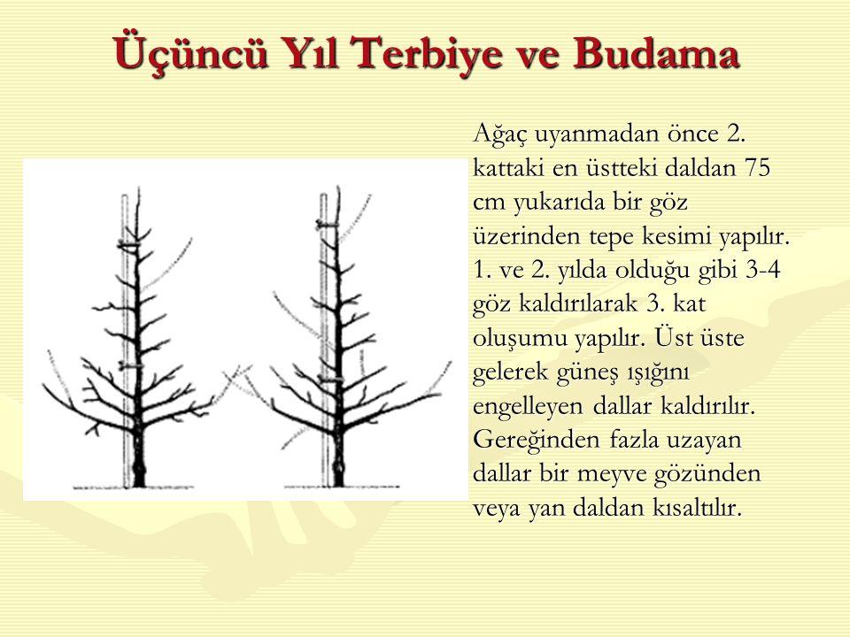Üçüncü Yıl Terbiye ve Budama