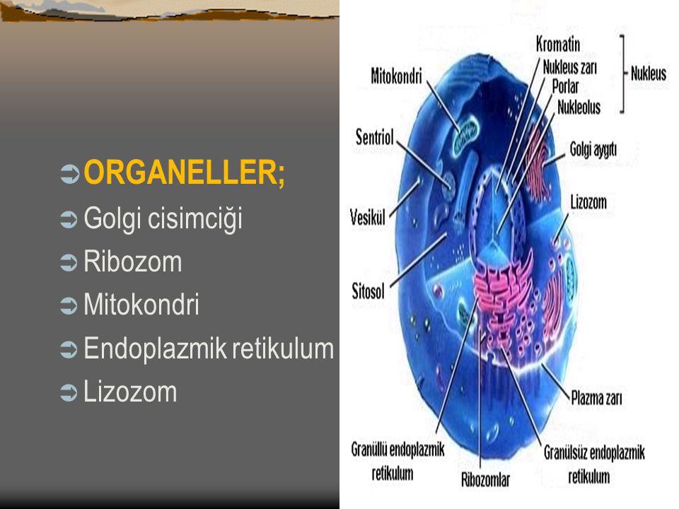 ORGANELLER; Golgi cisimciği Ribozom Mitokondri Endoplazmik retikulum