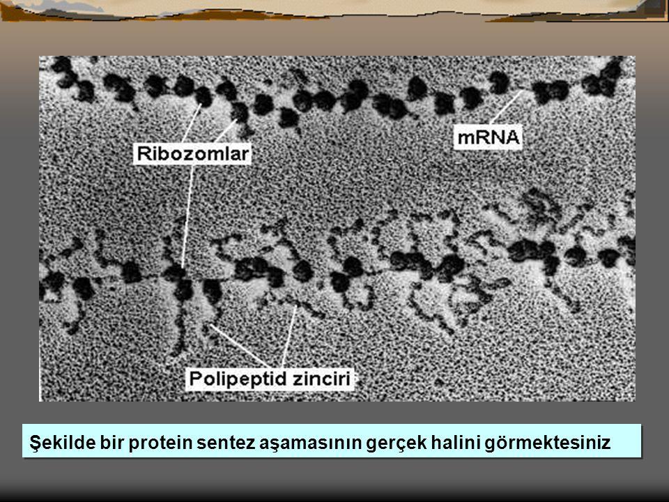 Şekilde bir protein sentez aşamasının gerçek halini görmektesiniz