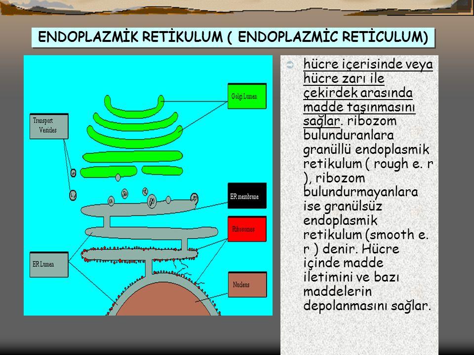 ENDOPLAZMİK RETİKULUM ( ENDOPLAZMİC RETİCULUM)