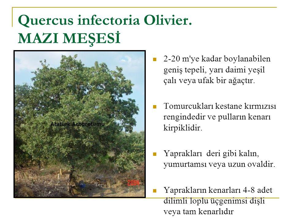 Quercus infectoria Olivier. MAZI MEŞESİ