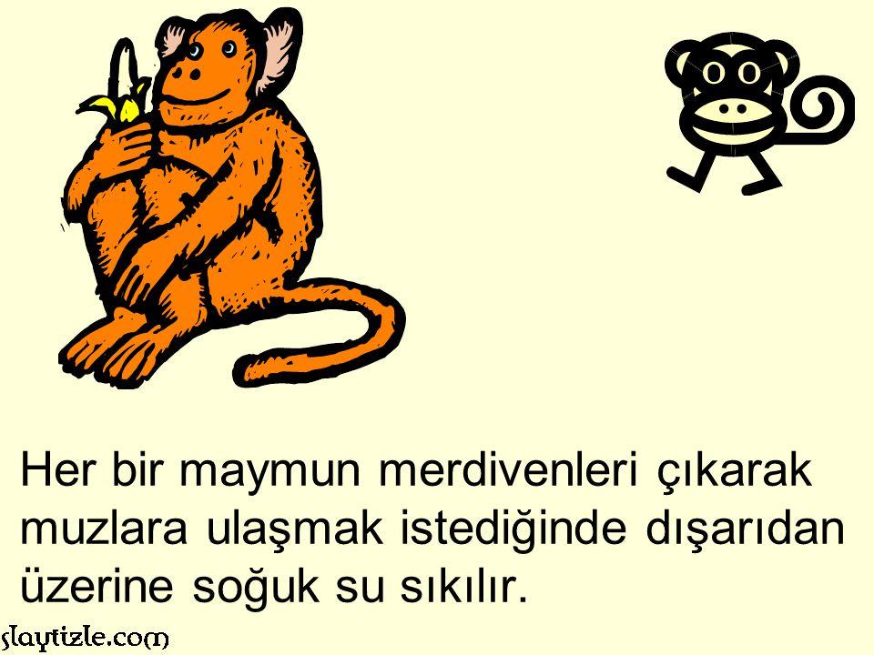 Her bir maymun merdivenleri çıkarak muzlara ulaşmak istediğinde dışarıdan üzerine soğuk su sıkılır.