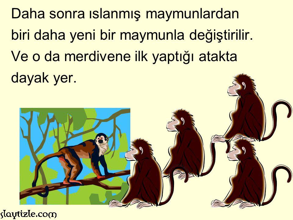 Daha sonra ıslanmış maymunlardan biri daha yeni bir maymunla değiştirilir.