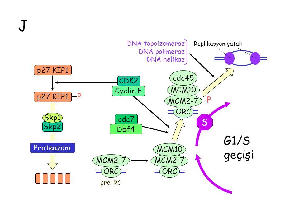 J G1/S geçişi S M G1 P p27 KIP1 cdc45 CDK2 Cyclin E Skp1 cdc7 Skp2