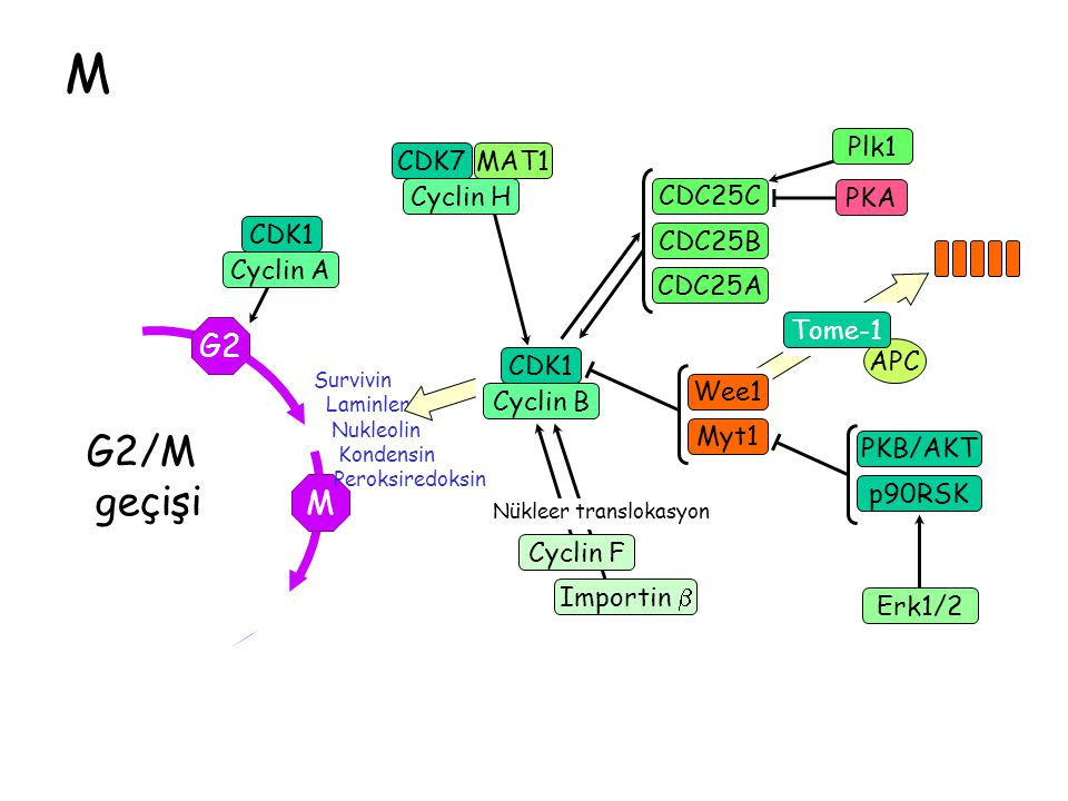M G2/M geçişi G2 M Plk1 CDK7 Cyclin H MAT1 CDC25C PKA CDK1 Cyclin A