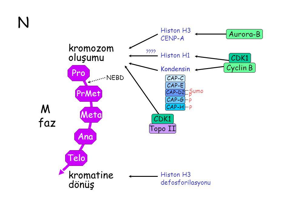 N M faz kromozom oluşumu kromatine dönüş Pro Meta Ana Telo PrMe PrMet