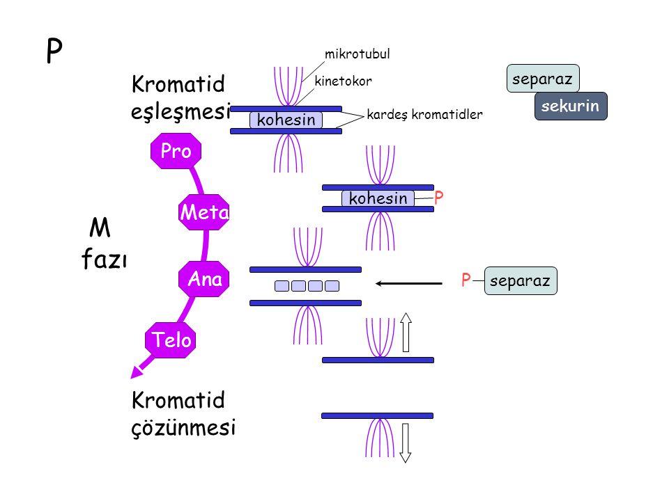 P M fazı eşleşmesi Kromatid çözünmesi Pro Meta Ana Telo P separaz