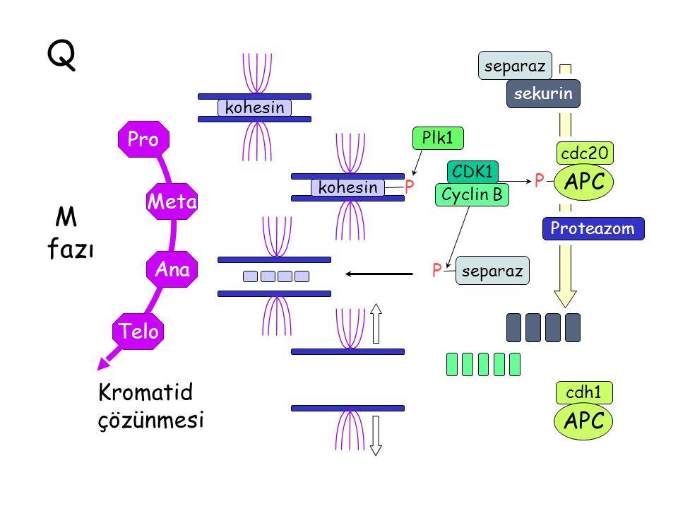 Q M fazı Kromatid çözünmesi APC Pro Meta Ana Telo P separaz sekurin