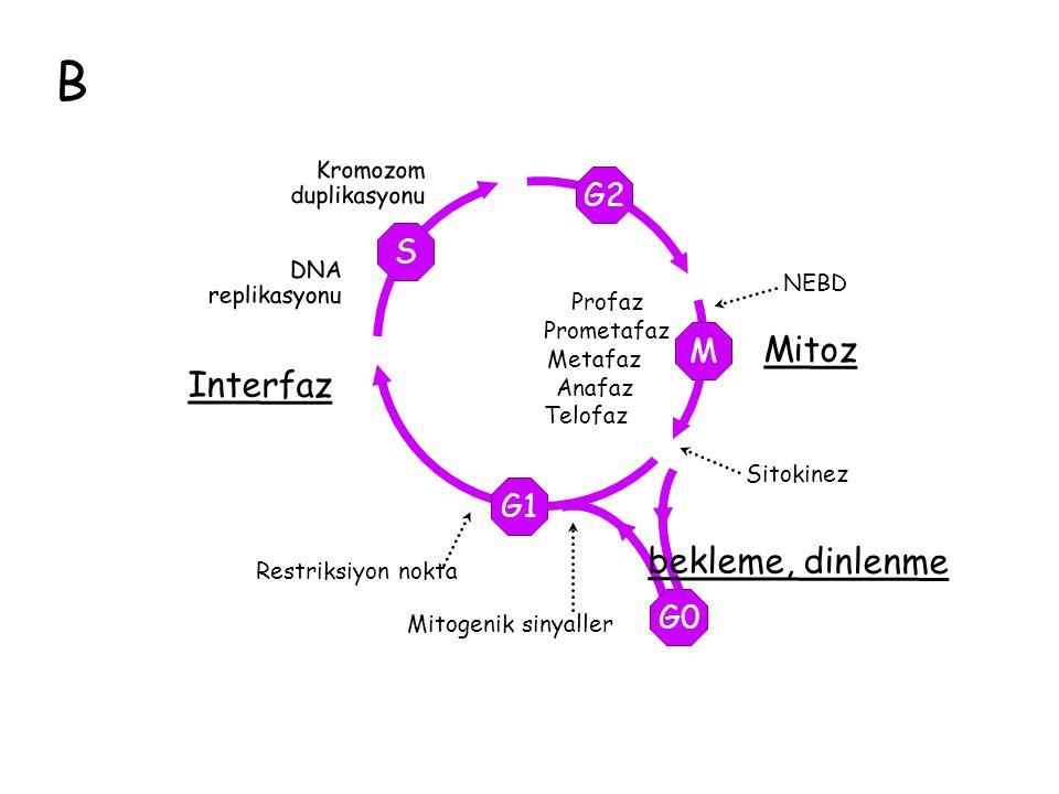 B Mitoz Interfaz bekleme, dinlenme G2 S M G1 G0 Kromozom duplikasyonu