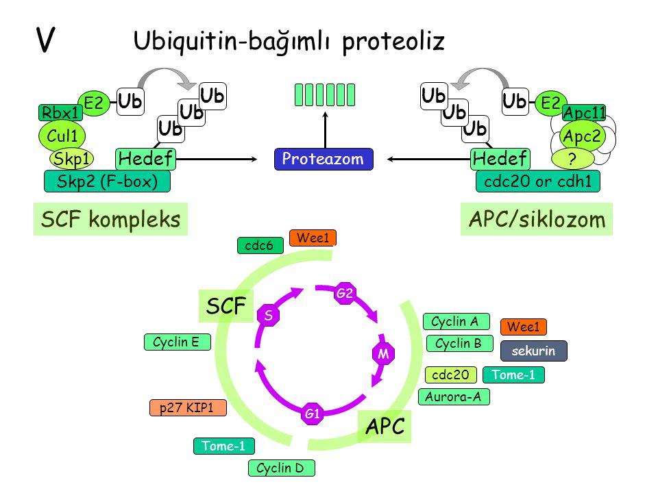 V Ubiquitin-bağımlı proteoliz SCF kompleks APC/siklozom SCF APC Ub