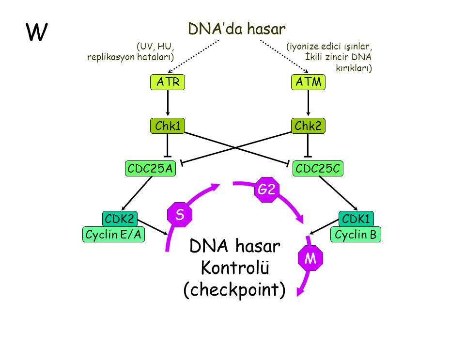 W DNA hasar Kontrolü (checkpoint) DNA'da hasar G2 S M CDC25A Chk1 ATR