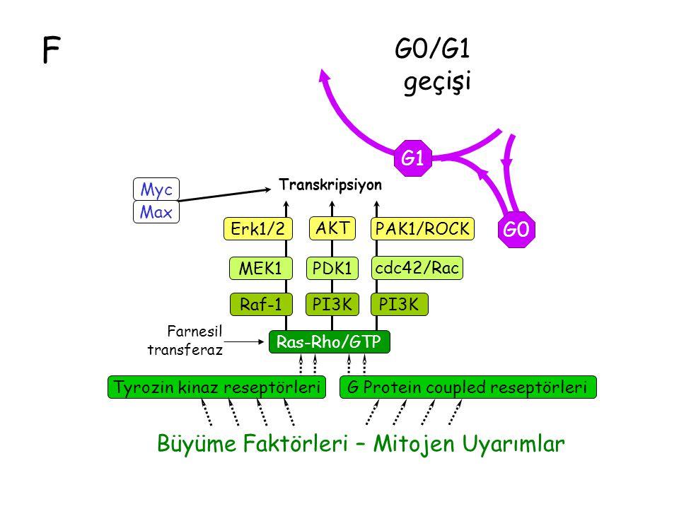 F G0/G1 geçişi Büyüme Faktörleri – Mitojen Uyarımlar G1 G0 Ras-Rho/GTP