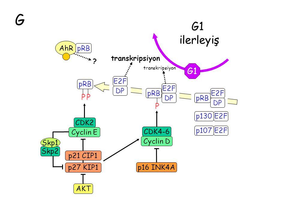 G ilerleyiş G1 P transkripsiyon E2F DP pRB CDK2 Cyclin E p21 CIP1