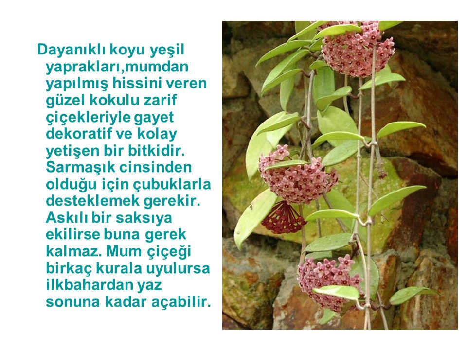 Dayanıklı koyu yeşil yaprakları,mumdan yapılmış hissini veren güzel kokulu zarif çiçekleriyle gayet dekoratif ve kolay yetişen bir bitkidir.