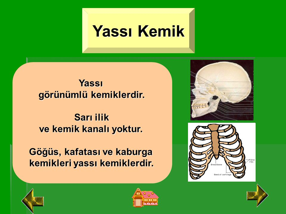 Yassı Kemik Yassı görünümlü kemiklerdir. Sarı ilik