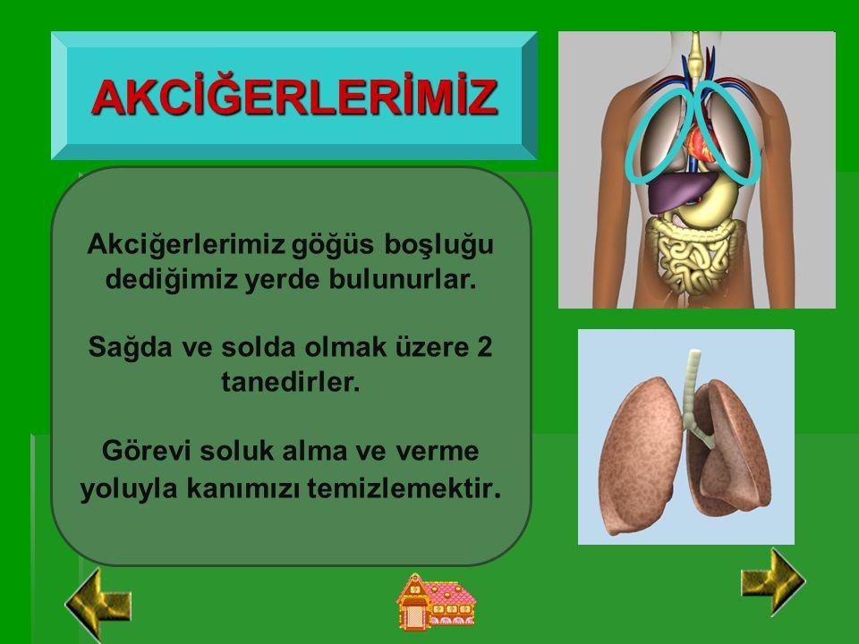 AKCİĞERLERİMİZ Akciğerlerimiz göğüs boşluğu dediğimiz yerde bulunurlar. Sağda ve solda olmak üzere 2 tanedirler.