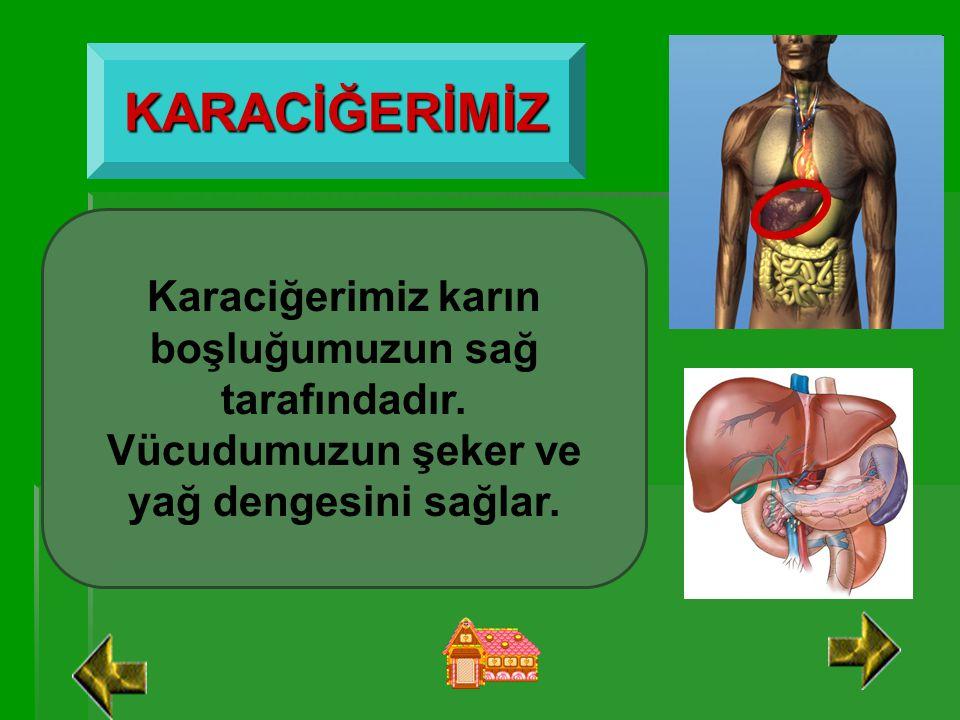 KARACİĞERİMİZ Karaciğerimiz karın boşluğumuzun sağ tarafındadır.
