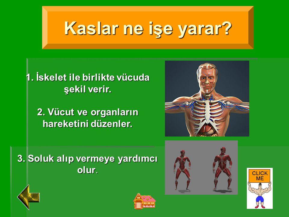Kaslar ne işe yarar 1. İskelet ile birlikte vücuda şekil verir.