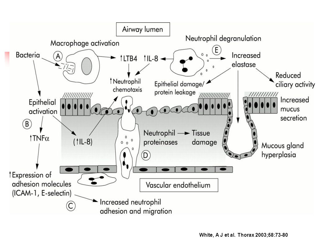 Neutrophilic inflammation during exacerbations of COPD