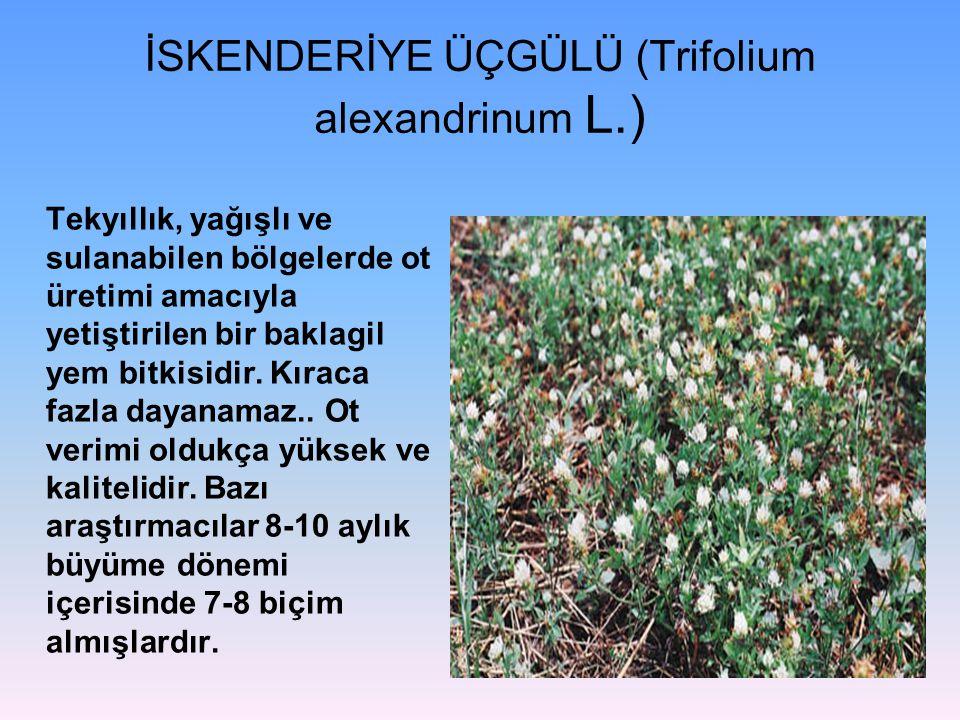İSKENDERİYE ÜÇGÜLÜ (Trifolium alexandrinum L.)