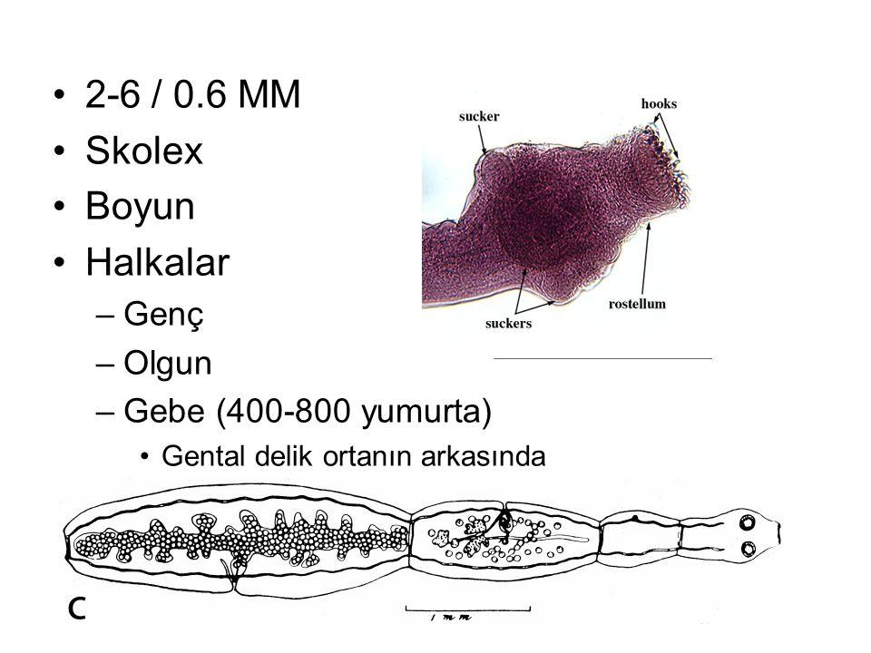 2-6 / 0.6 MM Skolex Boyun Halkalar Genç Olgun Gebe (400-800 yumurta)