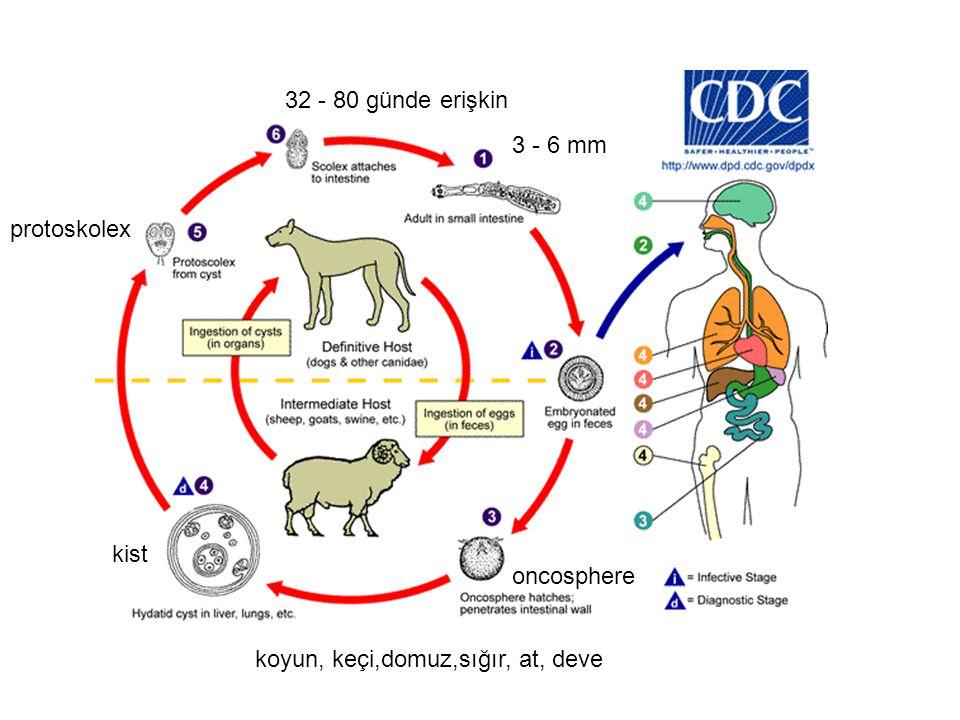 32 - 80 günde erişkin 3 - 6 mm protoskolex kist oncosphere koyun, keçi,domuz,sığır, at, deve