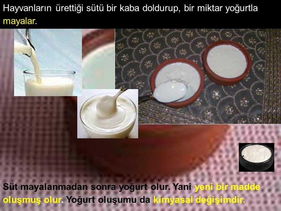 Hayvanların ürettiği sütü bir kaba doldurup, bir miktar yoğurtla mayalar.