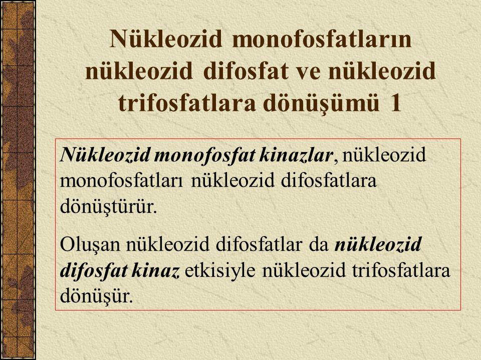 Nükleozid monofosfatların nükleozid difosfat ve nükleozid trifosfatlara dönüşümü 1