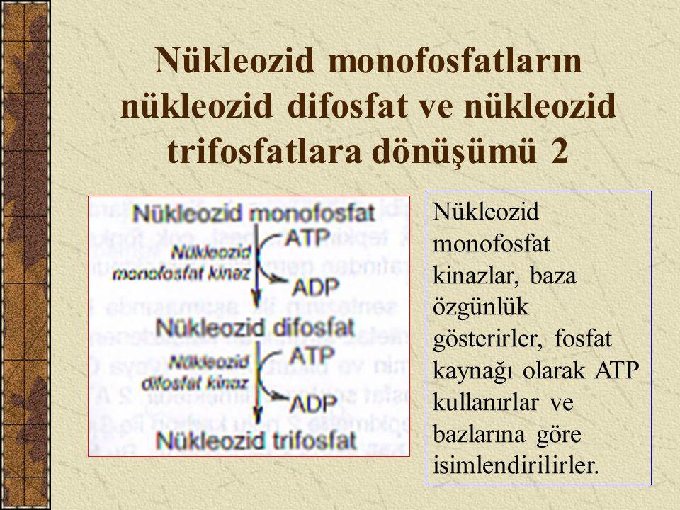 Nükleozid monofosfatların nükleozid difosfat ve nükleozid trifosfatlara dönüşümü 2
