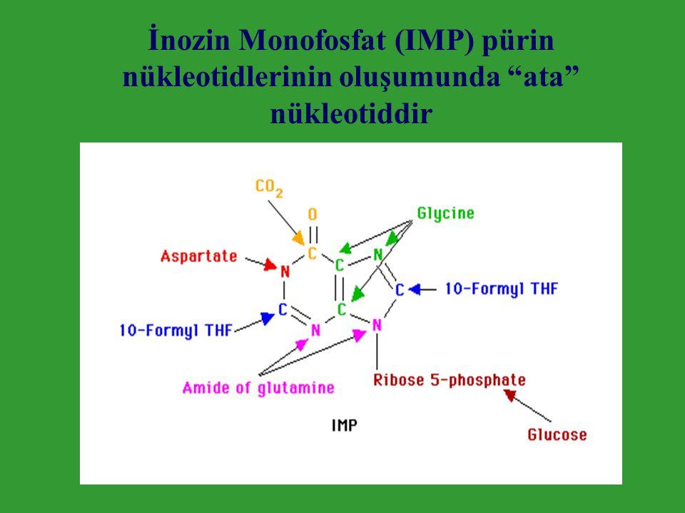 İnozin Monofosfat (IMP) pürin nükleotidlerinin oluşumunda ata nükleotiddir