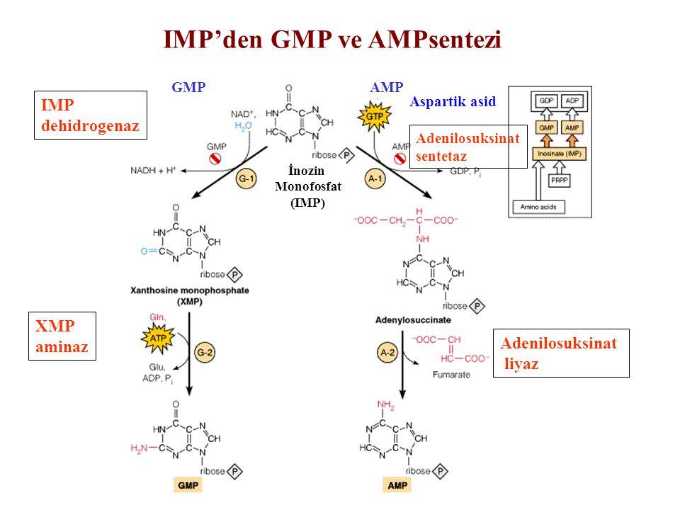 IMP'den GMP ve AMPsentezi