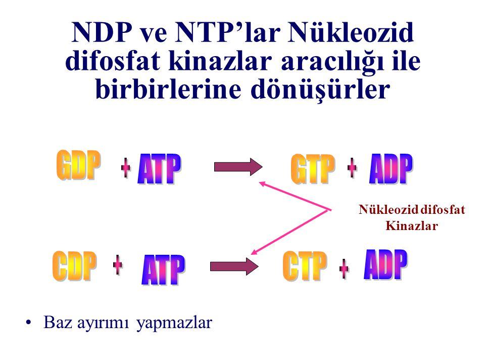 NDP ve NTP'lar Nükleozid difosfat kinazlar aracılığı ile birbirlerine dönüşürler