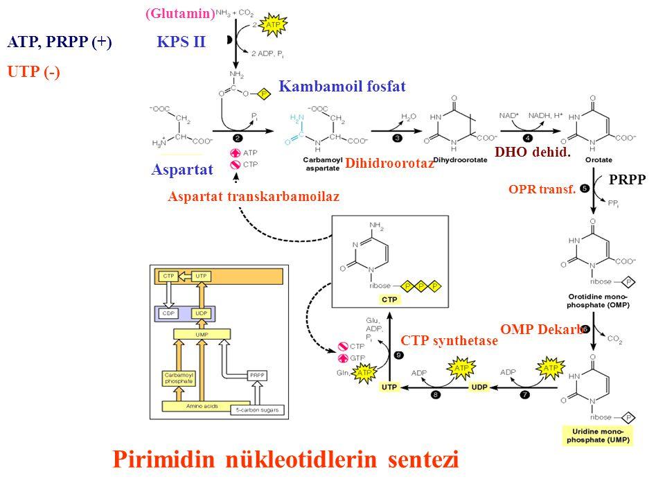 Pirimidin nükleotidlerin sentezi