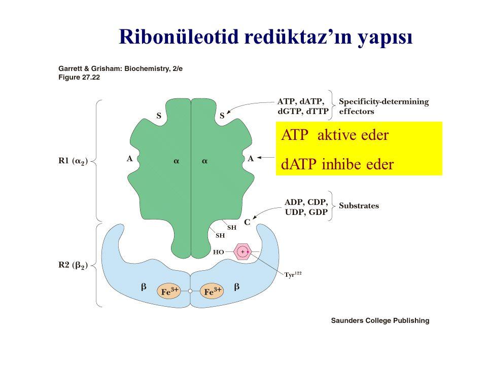 Ribonüleotid redüktaz'ın yapısı