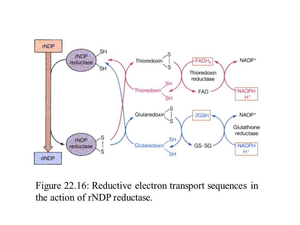 Figure 22.16: Reductive electron transport sequences in the action of rNDP reductase.