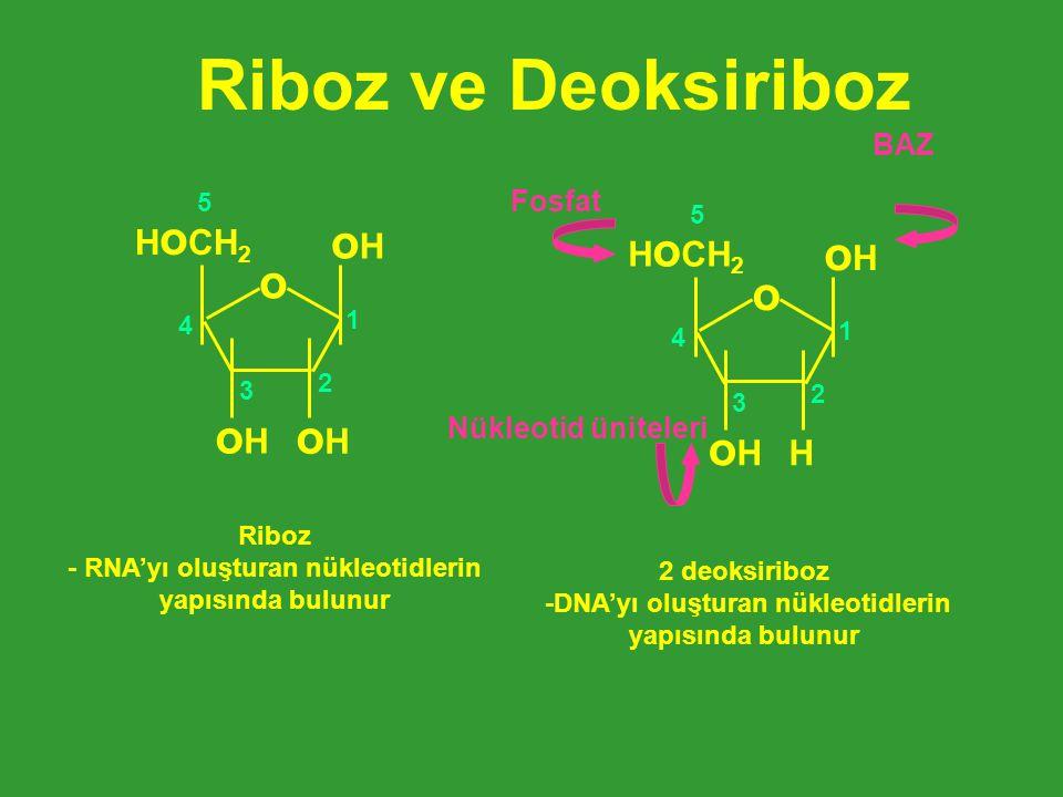 Riboz ve Deoksiriboz oH o o oH HoCH2 HoCH2 H BAZ Fosfat