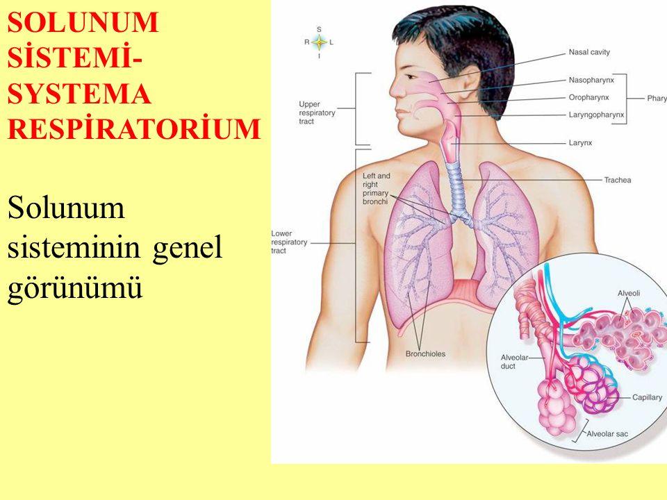 Solunum sisteminin genel görünümü