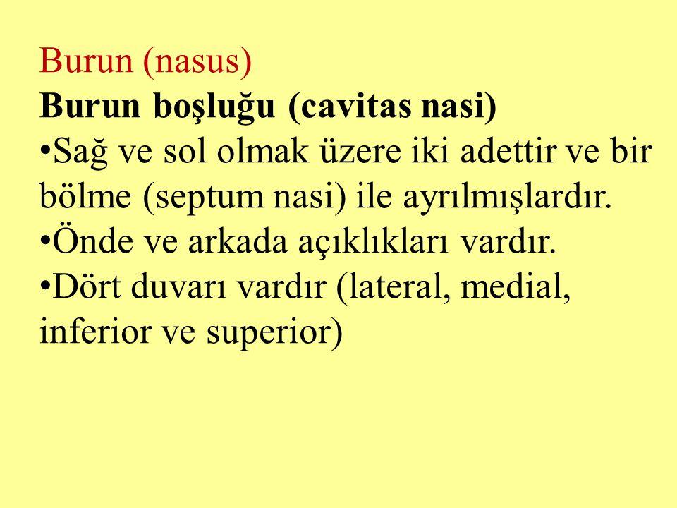 Burun (nasus) Burun boşluğu (cavitas nasi) Sağ ve sol olmak üzere iki adettir ve bir bölme (septum nasi) ile ayrılmışlardır.