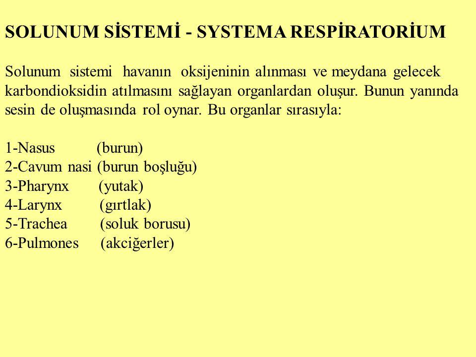SOLUNUM SİSTEMİ - SYSTEMA RESPİRATORİUM